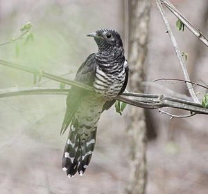 Red-chested cuckoo - An immature bird in fresh plumage, South Africa