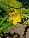 Cucumis sativus 0002.JPG
