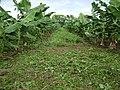 Cultivo da Bananeira. Ibimirim - PE - panoramio.jpg