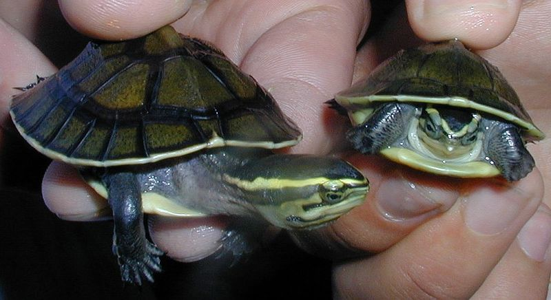 ... for Sliders, Painted Turtles and other Semi-Aquatic Species - Part 2