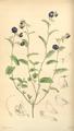 Curtis's Botanical Magazine, Plate 4283 (Volume 73, 1847).png