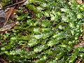 Cyathophorum bulbosum False Fern Moss.JPG