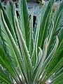 Cycas revoluta 022.jpg