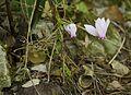 Cyclamen hederifolium SicilyPlants-pjt3.jpg