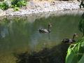 Cygnes noirs au jardin zoologique de québec - 07-2005.jpg