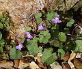 Cymbalaria muralis (Ivy-leaved Toadflax) - Flickr - S. Rae.jpg