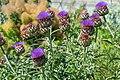 Cynara scolymus in Jardin botanique de la Charme 01.jpg