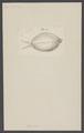 Cypraea - Print - Iconographia Zoologica - Special Collections University of Amsterdam - UBAINV0274 005 01 0017.tif