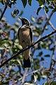 Cyprus wheatear (Oenanthe cypriaca).jpg