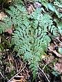 Cystopteris montana 001.jpg