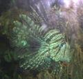 Dählhölzli - Pazifischer Rotfeuerfisch 1.jpg