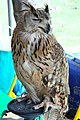 D85 1803Siberian Eagle Owl Photographed by Trisorn Triboon.jpg