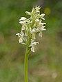 Dactylorhiza incarnata nothosubsp. versicolor - Niitvälja.jpg