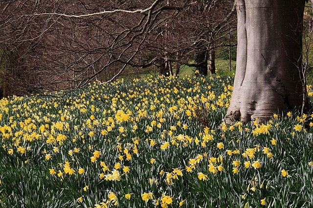 http://upload.wikimedia.org/wikipedia/commons/thumb/f/f3/Daffodils_%283357436358%29.jpg/640px-Daffodils_%283357436358%29.jpg
