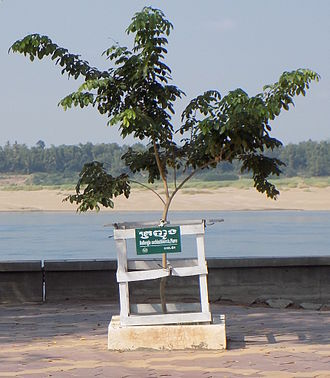 Dalbergia cochinchinensis - Image: Dalbergia cochinchinensis Kratie Cambodia