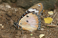 Danaid Eggfly Hypolimnas misippus.jpg