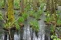 Darßwald Sumpf.jpg