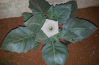 Datura - Image: Datura Flower on the plant (Top View) near Hyderabad, Andhra Pradesh, India 02
