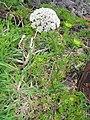 Daucus Carota ssp azorica (Habitus).jpg