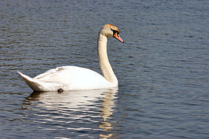 Mute Swan - species Cygnus olor