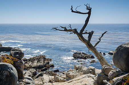 Dead Cypress at 17-Mile Drive