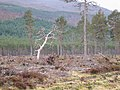 Dead Tree - geograph.org.uk - 154404.jpg