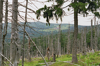 Krkonoše - Dead spruces on the northern, Polish side of the range