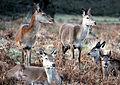 Deer in Richmond Park by Keven Law.jpg