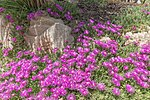 Delosperma cooperi (Délosperma rose) - 97.jpg