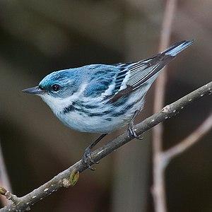 English: Cerulean Warbler (Dendroica cerulea)....
