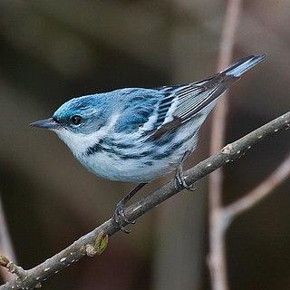 Cerulean Warbler Bird Reserve