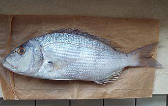 Porgy fishing - Common dentex