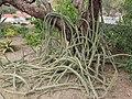 Desert Botanical Garden Phoenix Arizona 13.JPG