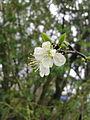 Deux fleurs de prunier à Grez-Doiceau 001.jpg