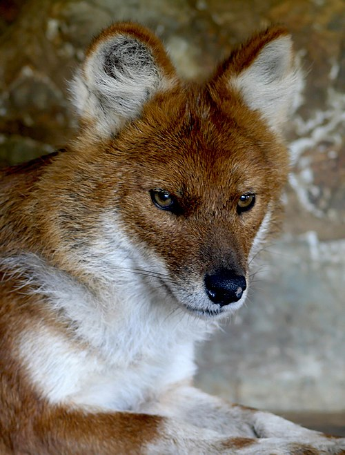 The dhole, Asia's most endangered top predator, is on the edge of extinction. Dhole.jpg