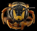Dianthidium curvatum, F, face, Sandhills, South Carolina 2012-11-15-12.28.31 ZS PMax (8246446690).jpg