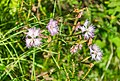Dianthus hyssopifolius in PNR Pyrenees ariegeoises 07.jpg