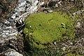 Dichodontium palustre (c, 141223-472415) 5705.JPG