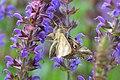 Dierenpark Emmen Moth (9129380406).jpg