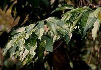 Dillenia pentagyna leaves- at Jayanti, Duars, West Bengal W IMG 5367.jpg