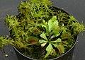 Dionaea in flowerpot 1.jpg