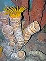Diorama of a Pennsylanian seafloor - Caninia rugose corals (31719551438).jpg