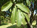 Diospyros mespiliformis, blare, Jan Celliers Park.jpg