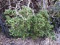 Diospyros whyteana, habitus, a, Waterberg.jpg