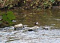 Dipper on the Afon Gwaun - geograph.org.uk - 1532291.jpg