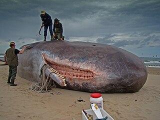Baleine et cachalot dans BALEINE 320px-Dirk_Claesen_-_Sperm_Whale