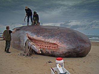 Sperm whale - The lower jaw is long and narrow. The teeth fit into sockets along the upper jaw.