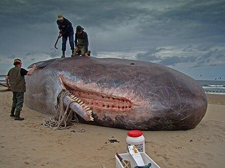 er spermhvaler uddøde
