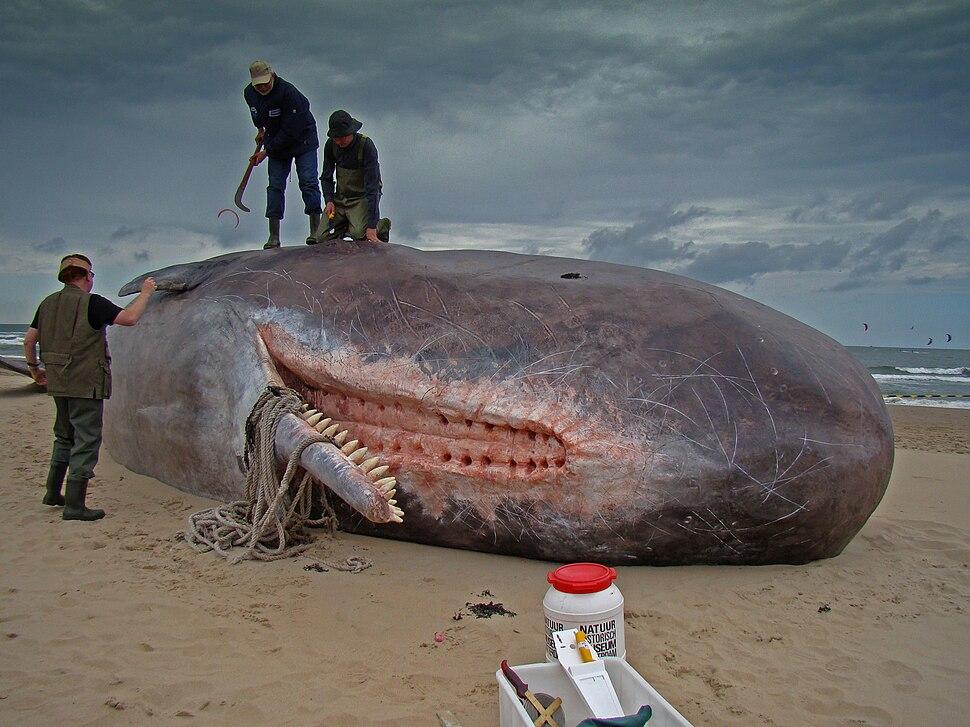 Dirk Claesen - Sperm Whale
