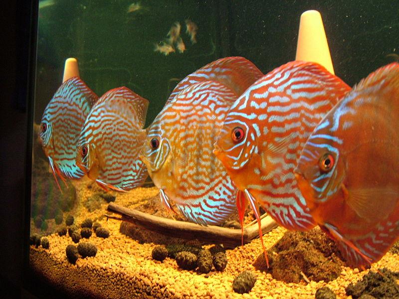 Ryba Paletka